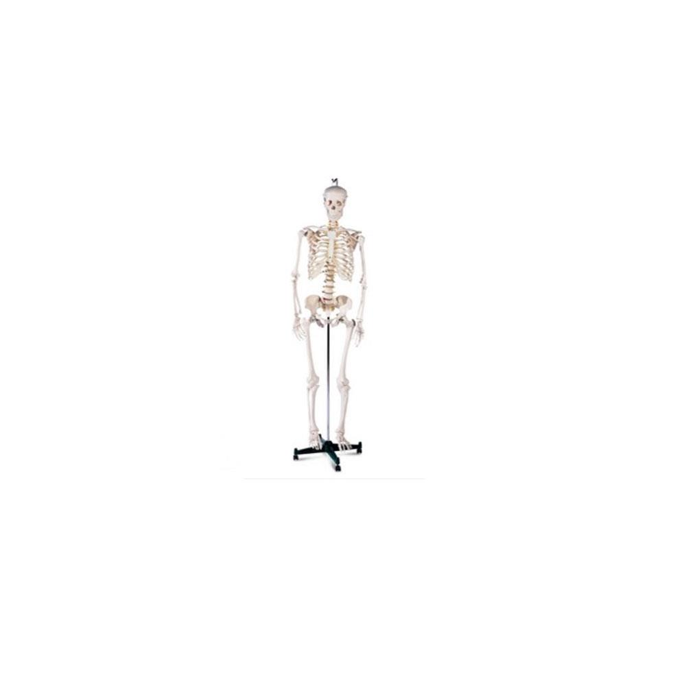 Skeleton On Stand